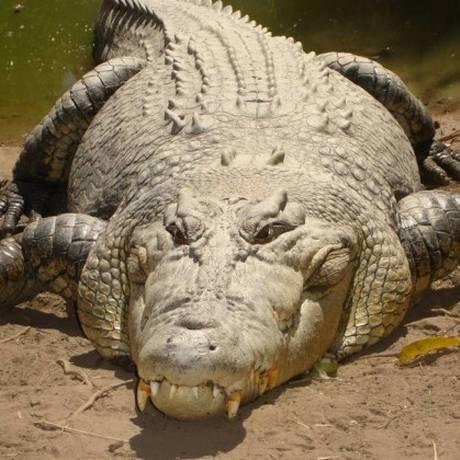 Crocodilos de água salgada estão entre os animais mais perigosos da Austrália Foto: Divulgação