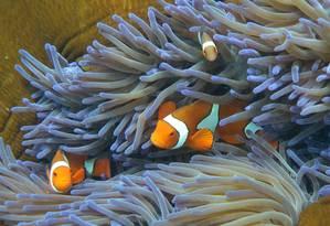 A Grande Barreira de Corais da Austrália já está sofrendo os efeitos das mudanças climáticas e poderá passar por colapso Foto: WILLIAM WEST / AFP