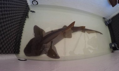 Próprio ex-dono chamou autoridades para resgatar tubarão-lixa Foto: Divulgação/Aquário de Ubatuba