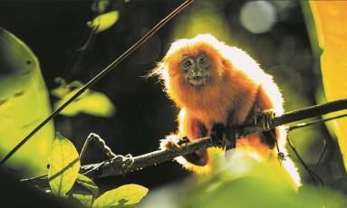 Chegada da febre amarela a Casimiro de Abreu põe mico-leão-dourado em ameaça de extinção Foto: Ana Branco / Agência O Globo
