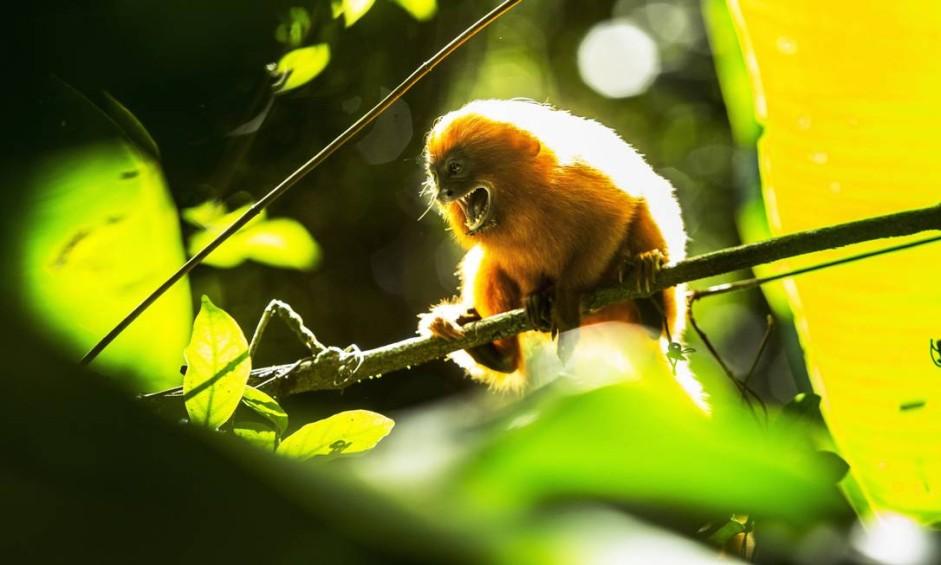 O atual surto de febre amarela silvestre põe em risco uma das mais ameaçadas espécias de macacos do mundo, o mico-leão-dourado (leontopithecus rosalia) Foto: Ana Branco / Agência O Globo