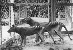 Foto da Universidade de Melbourne mostra dois tigres-da-tasmânia antes da extinção, nos anos 30 Foto: AFP PHOTO / UNIVERSITY OF MELBOURNE