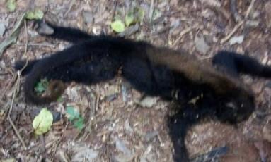 Um dos seis macacos encontrados mortos em uma área de mata de Laje do Muriaé Foto: Divulgação