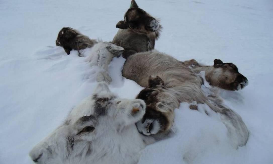 Carcaças de renas mortas cobertas pelo gelo. Um estudo da Universidade de Oxford mostrou que 80 mil renas morreram na Sibéria por causa das alterações no ciclo das chuvas Foto: Universidade de Oxford