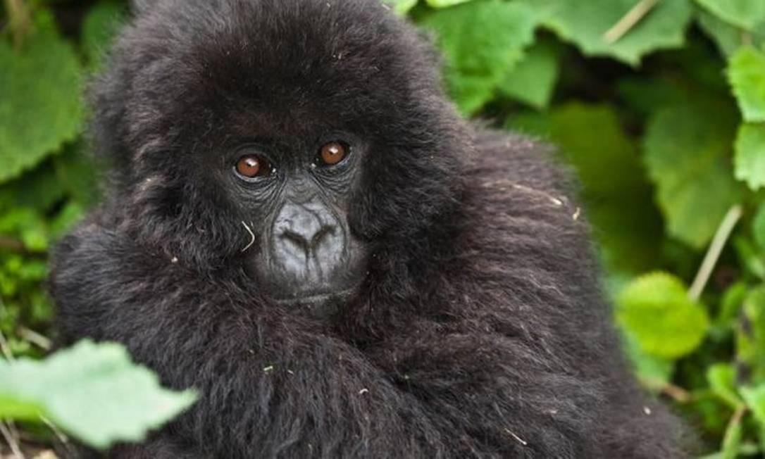 Um estudo liderado pela Universidade de Roma, evidências apontam que 700 espécies de pássaros e mamíferos, entre elas estão os gorilas Foto: Liana Joseph