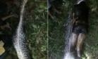 Píton de 7 metros engole homem inteiro na Indonésia Foto: Reprodução
