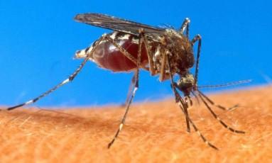 A transmissão da malária ocorre após picada da fêma do mosquito Anopheles Foto: Reprodução