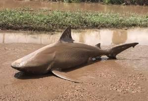 O animal foi encontrado morto numa estrada a 13 quilômetros da costa Foto: Departamento de Bombeiros e Emergência de Queensland