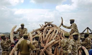 Guardas florestais do Quênia observam marfim de elefantes apreendidos no país Foto: TONY KARUMBA / AFP