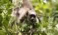Macacos são as maiores vítimas da febre amarela nas florestas Foto: Mônica Imbuzeiro / Agência O Globo
