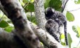 Novos casos de macacos encontrados mortos por febre amarela no Estado do Rio