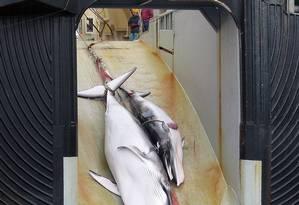 Em foto de 2008, uma baleia e seu filhote mortos são carregados para um navio japonês com a inscrição 'Pesquisa legalizada' Foto: AUSTRALIAN CUSTOMS SERVICE / AFP