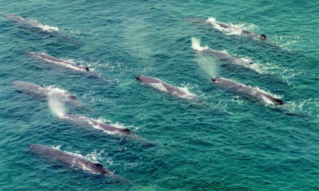 Grupo de baleias nada na costa japonesa, na altura de Tomiura; Comissão Baleeira Internacional (CBI) aplica desde 1986 uma moratória à caça dos animais Foto: AP Photo / Maritime Safety Agency