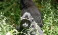 Existem cerca de 5 mil Macacas nigra na ilha Celebes, na Indonésia