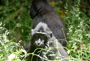 Existem cerca de 5 mil Macacas nigra na ilha Celebes, na Indonésia Foto: BAY ISMOYO / AFP