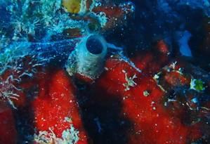 A concha tubular construída pelo vermetídeo, com a teia de gosma por trás dela Foto: Field Museum / Rüdiger Bieler