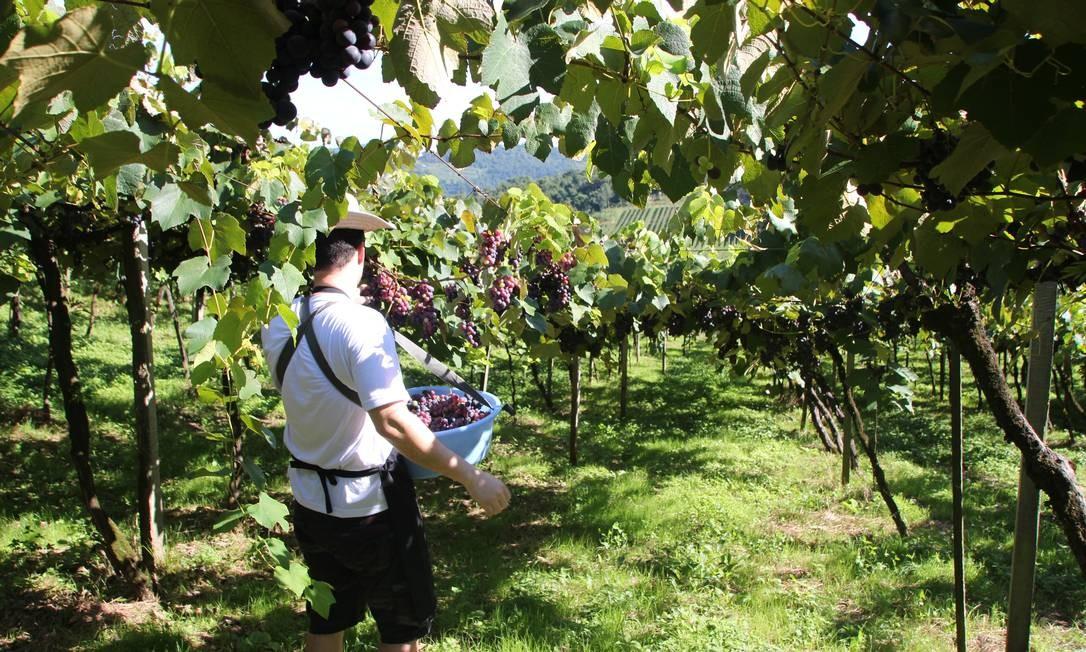 Em outra área da propriedade, os turistas se embrenham nas plantações para colher uva direto do pé Foto: Eduardo Maia / O Globo