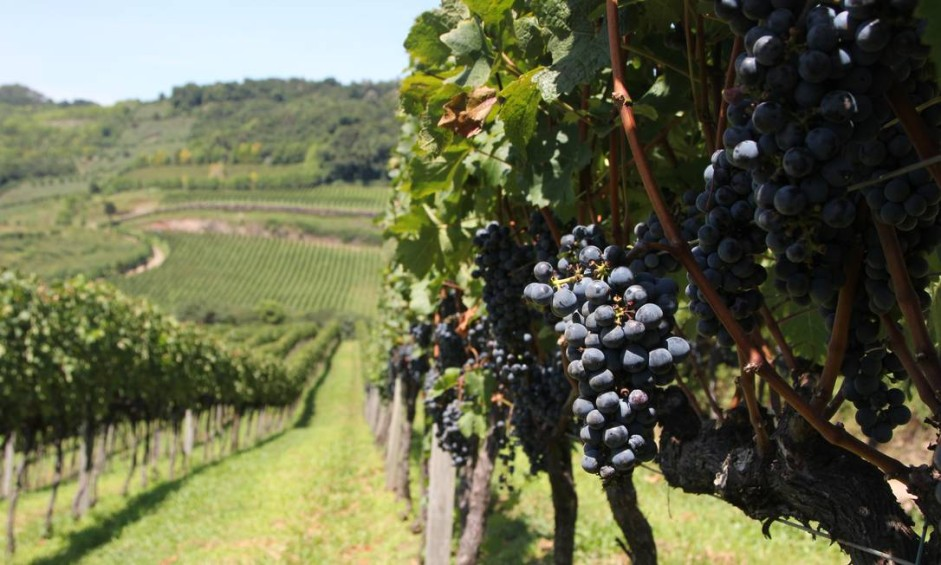 Cacho de uvas na Casa Valduga, uma das vinícolas do Vale dos Vinhedos, na Serra Gaúcha, que promove eventos especiais no período da vindima Foto: Eduardo Maia / O Globo