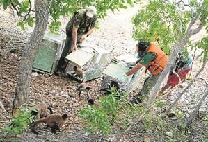 Macacos-prego sob custódia do Ibama são reintroduzidos em ambiente natural no Piauí Foto: Divulgação
