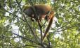 Bugio-ruivo-do-norte (Alouatta guariba guariba): o mais ameaçado