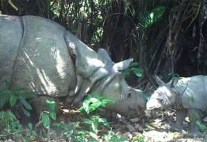 O rinoceronte de Java é encontrado apenas numa reserva natural da Indonésia Foto: Parque Nacional de Ujung Kulon