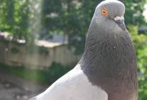 Intelectual: ave sabe desenvolver inteligência dentro de sua sociedade Foto: Free Images
