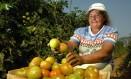 Trabalhadora rural em plantação de tomates em Paty de Alferes. Foto: Mônica Imbuzeiro/Agência O Globo/25-08-2004