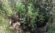 Mudas eram plantadas em área de universidade do Distrito Federal