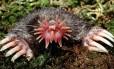 Toupeira-nariz-de-estrela, espécie da América do Norte, é considerada como um animal espantoso e surpreendente Foto: Divulgação/Kenneth Catania