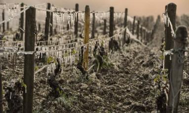 Geada destrói vinhedo em Chablis, no Norte da França Foto: PHILIPPE DESMAZES / AFP