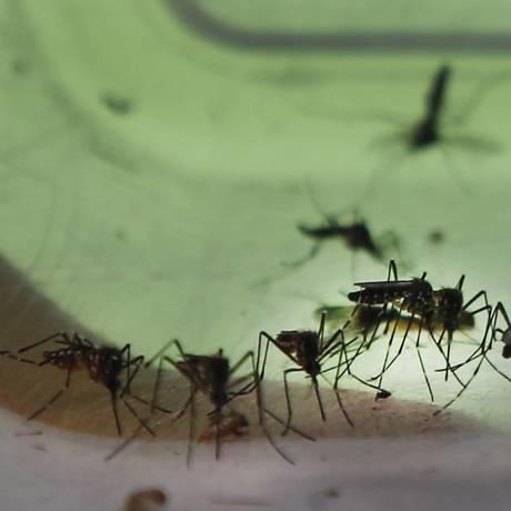 Mosquitos Aedes aegypti são os principais vetores do vírus da zika Foto: Antonio Scorza / Agência O Globo