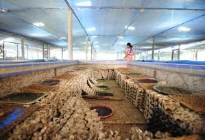 Criação de grilos na Tailândia: impacto ambiental bem menor do que outras proteínas animais Foto: Afton Halloran