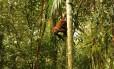 Macaco bugio: espécie é a primeira a morrer depois de ser afetada pela doença