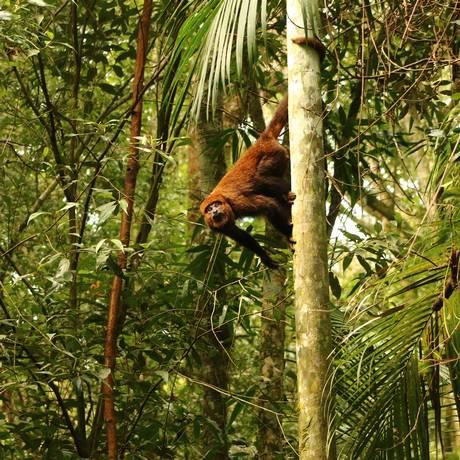 Macaco bugio: espécie é a primeira a morrer depois de ser afetada pela doença Foto: Divulgação / Luísa Genes