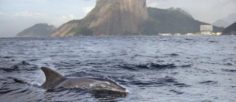Um grupo de cerca de 40 golfinhos, da espécie dentes-rugosos, se tornou a mais nova (e bela) surpresa da tão maltratada Baía de Guanabara Foto: Márcia Foletto / Agência O Globo