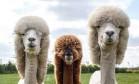 Alpacas ganham visual inusitado Foto: Reprodução/Twitter