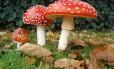 O Amanita muscaria é uma das espécies de cogumelo com efeitos alucinógenos