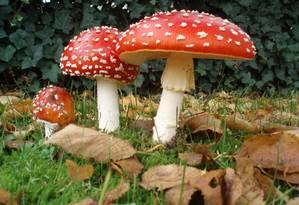 O Amanita muscaria é uma das espécies de cogumelo com efeitos alucinógenos Foto: WIKIPEDIA