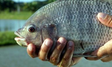 Tilápia é um peixe comum em rios do Brasil, o que tornaria o tratamento para queimaduras barato, segundo pesquisadores. Após passar por processo de limpeza e refrigeração, a pele desse peixe pode ser usada por até dois anos Foto: Divulgação/Rosane Marinho