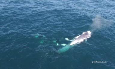 Vídeo mostra grupo de orcas atacando uma baleia azul adulta Foto: REPRODUÇÃO/FACEBOOK