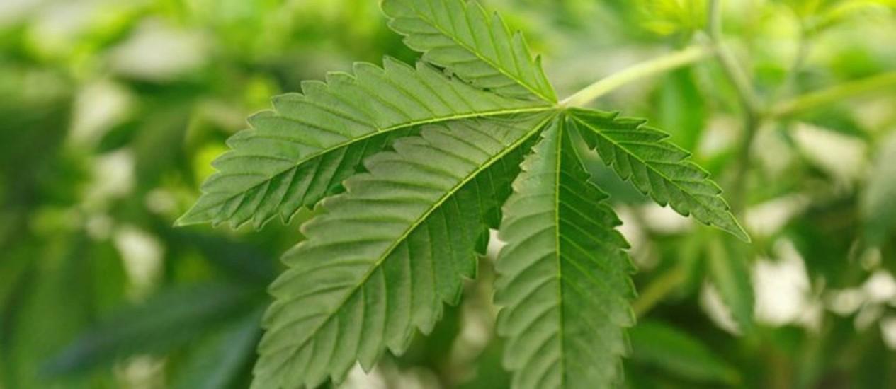 Preparo da comida com a cannabis é alternativa para os doentes crônicos que já usam óleo e resina da planta Foto: Arquivo