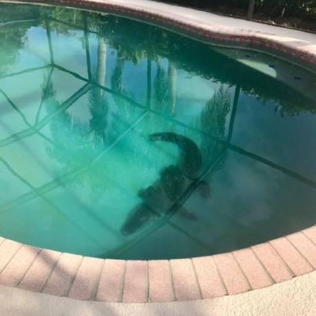 O jacaré no fundo da piscina de uma casa em Sarasota, na Flórida Foto: REPRODUÇÃO/FACEBOOK