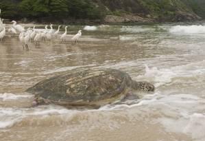 Uma tartaruga marinha flagrada na Praia de Itaipu, onde o Projeto Aruanã participa, hoje e amanhã, da Marejada Cultural Foto: Amanda Vidal Wanderley / divulgação/