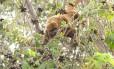 Em Caratinga, leste de Minas Gerais, a população de macacos foi dizimada pela doença