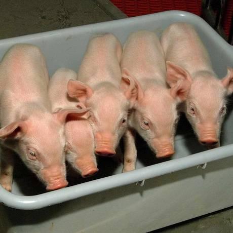 Os pesquisadores injetaram células de porcos no cérebro dos pacientes Foto: AFP