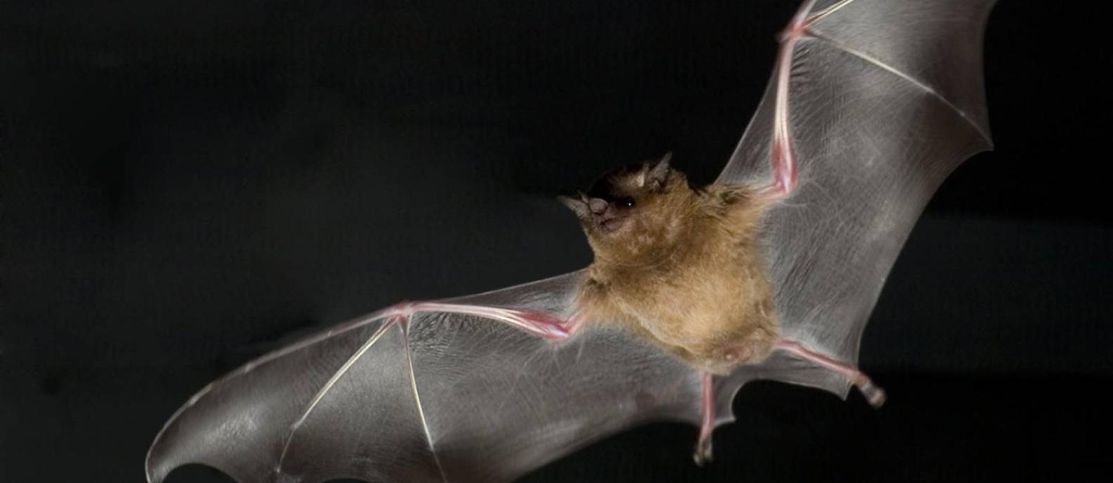 Estimativa indica que, em média, cada espécie de morcego carrega 17,22 vírus zoonóticos desconhecidos Foto: F.T. Mujires / AFP