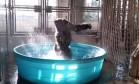 Gorila dançarino faz sucesso ao som de canção de 'Flashdance' Foto: Reprodução/Twitter