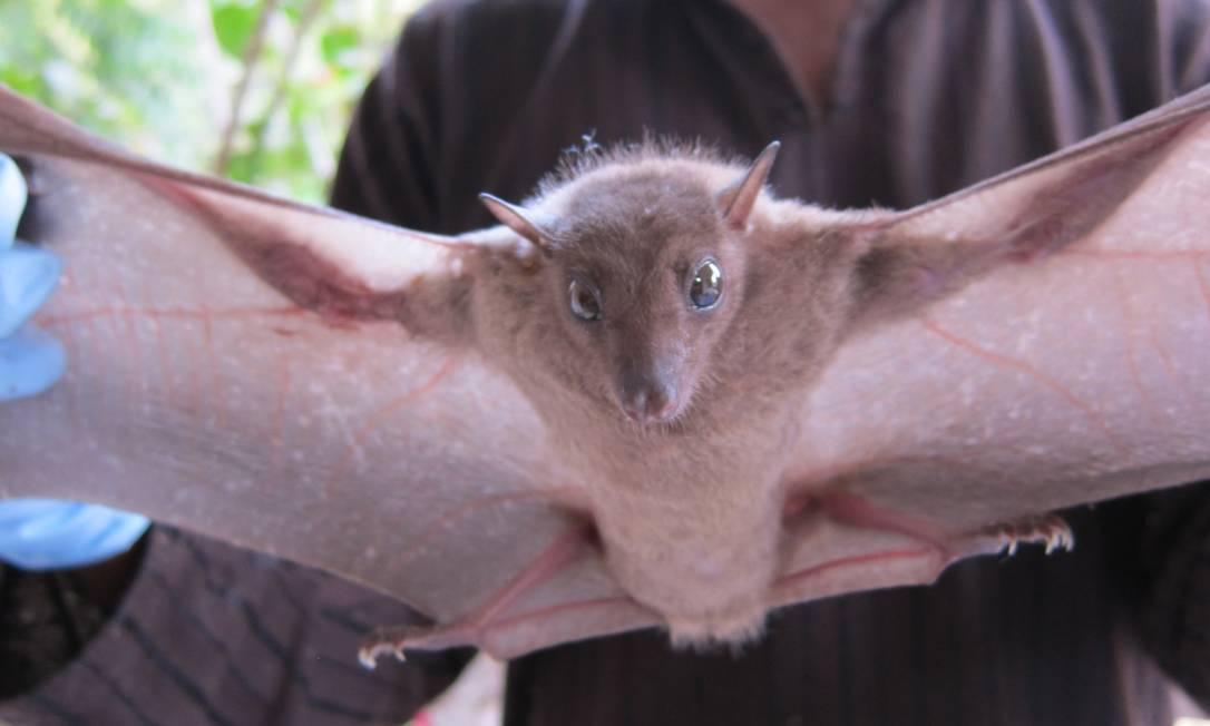 Variáveis: ecologicamente 'onipresentes' e com muitos vírus conhecidos, morcegos se destacaram no modelo estatístico usado no estudo Foto: Divulgação/EcoHealth Alliance