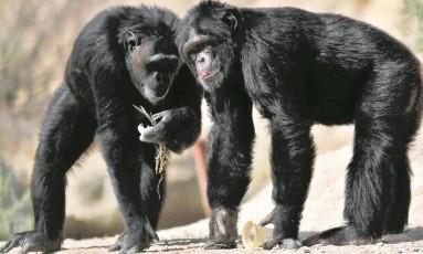 Enquanto o habitat exigiu de chimpanzés maior força, seres humanos superaram esses primatas em outros atributos como longas caminhadas terrestres Foto: Amr Abdallah Dalsh/ REUTERS/7-6-2017