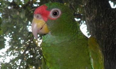 A nova espécie tem a coroa verde, diferente dos outros dois papagaios que habitam a região Foto: Tony Silva